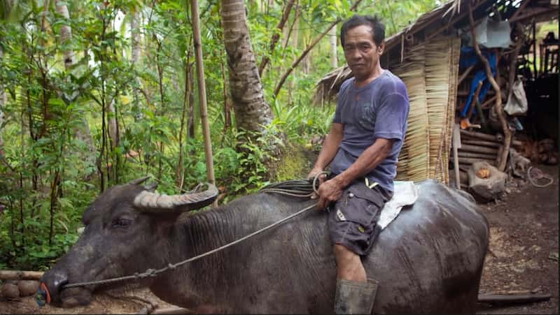 A farmer rides his carabao in front of a woven thatch house in the forest