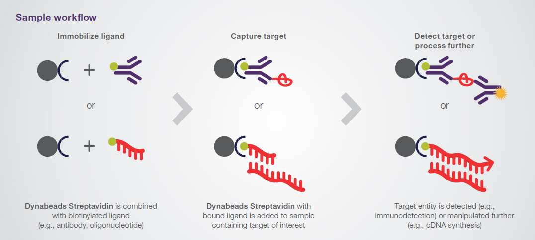 Dynabead Streptavidin workflow example