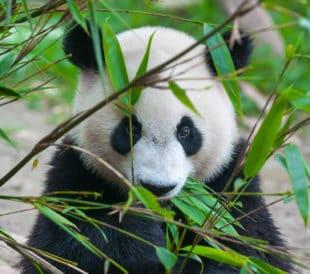 Cute panda bear eating bamboo. Image: Hung Chung Chih/Shutterstock.com.