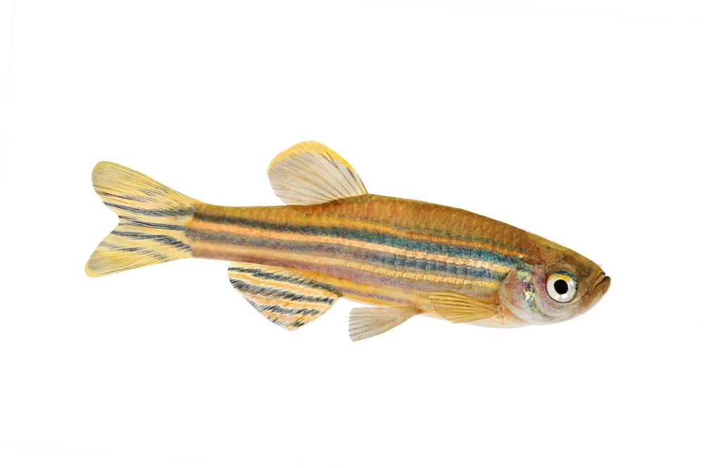 Zebrafish Zebra Barb Danio rerio freshwater aquarium fish isolated on white background