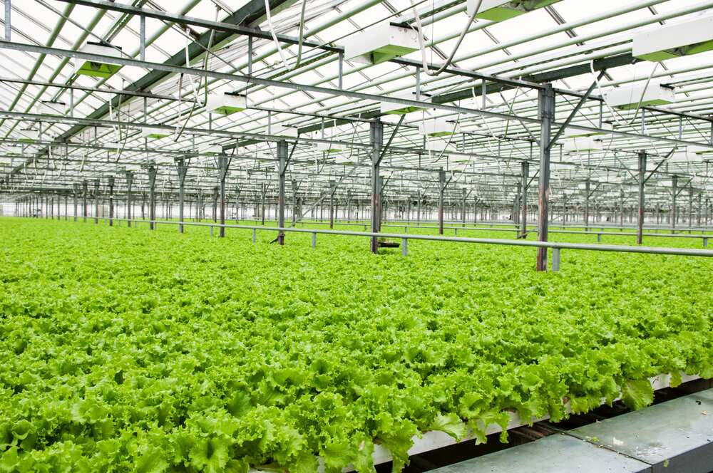 Lettuce growing in a green house