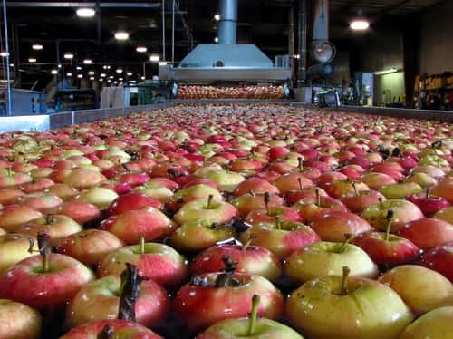 Apples in processing water