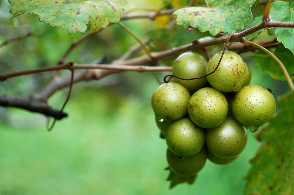 Green muscadine grapes on the vine