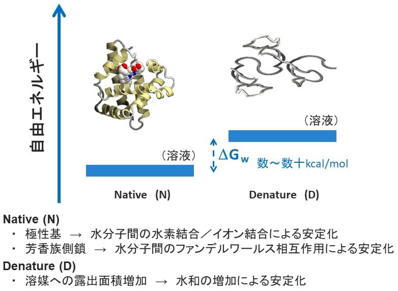 ネイティブ構造のタンパク質と変性タンパク質の違い