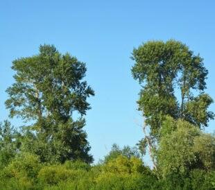 Two poplar tree. Image: TatyanaKokoulina/Shutterstock.com