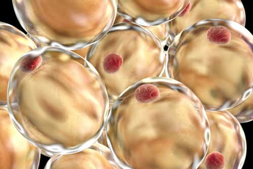Fat cells. 3D illustration showing presence of big lipid droplet (yellow) inside the cell. The red structure is nucleus. Image: Kateryna Kon/Shutterstock.com.