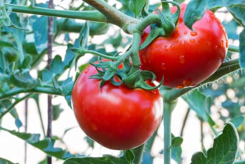 Bunch of red tomato with rain drops on a tree. Image: lobsters/Shutterstock.com.