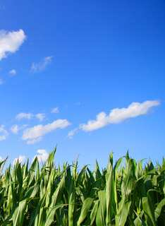 cornfield against blue sky