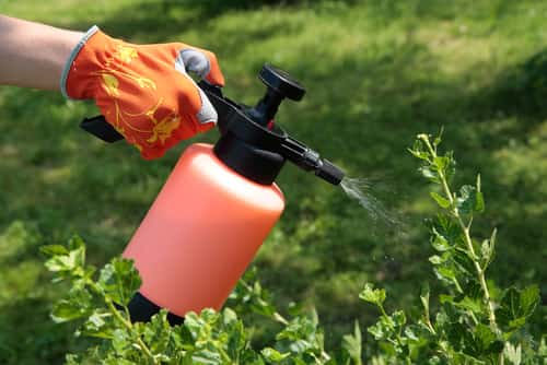 spraying a plant with insecticide
