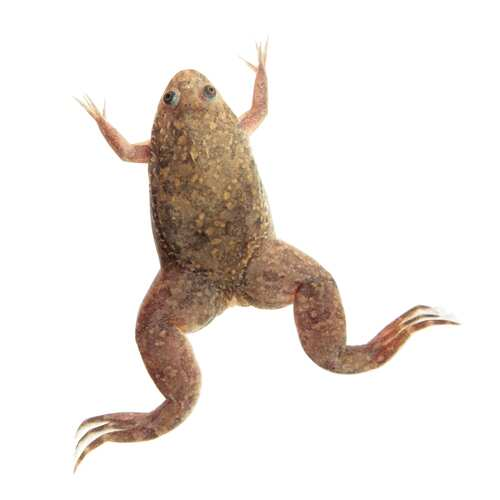 African Clawed Toad