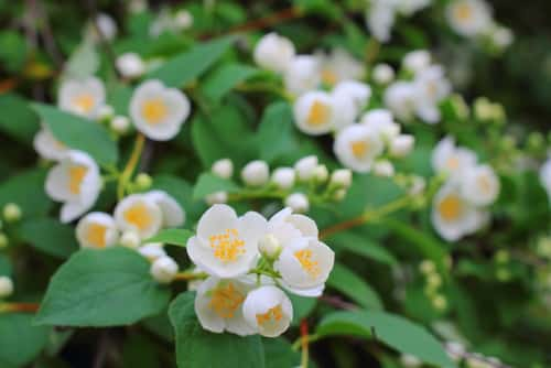 mock orange - murraya paniculata