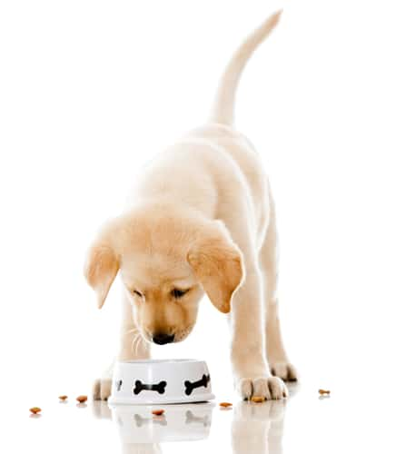 Puppy eating pet food