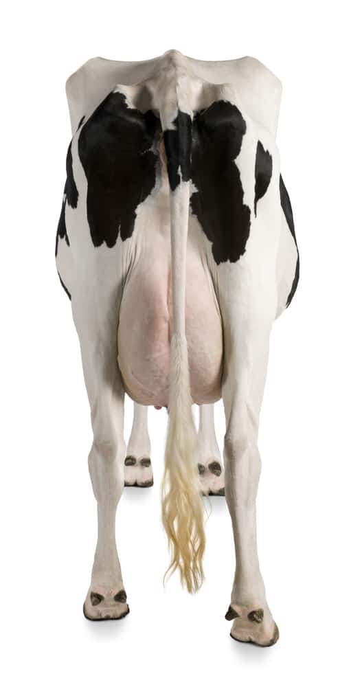 Isolated Holstein Cow
