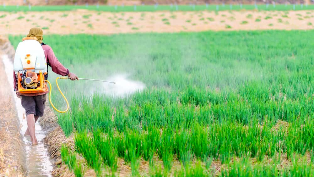 A farmer spraying pesticides on an onion field