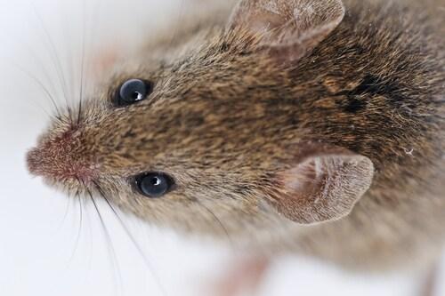 Mouse on white background. Image: Zurijeta/Shutterstock.com