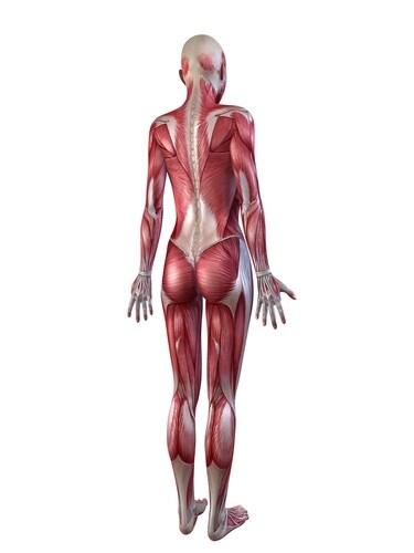 Female muscular system. Image: Sebastian Kaulitzki/Shutterstock.com