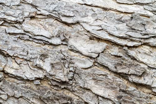Bark of mimosa tree. Image: supersaiyan3/Shutterstock.com