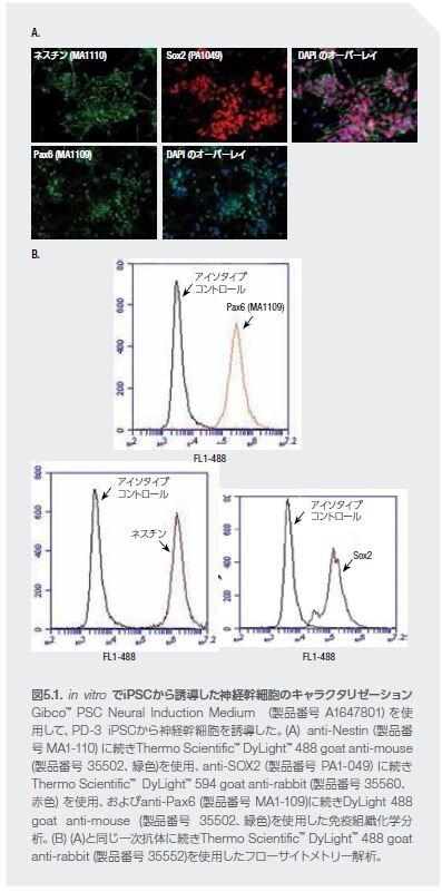 in vitro でiPSCから誘導した神経幹細胞のキャラクタリゼーション