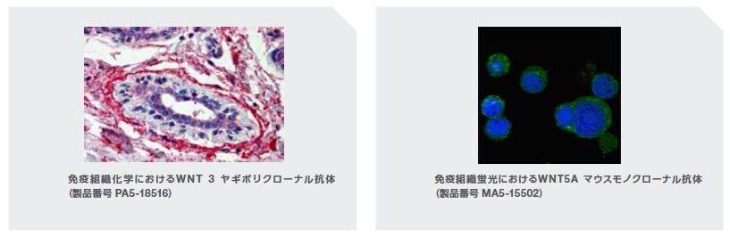 免疫組織化学におけるWNT 3 ヤギポリクローナル抗体