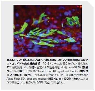 CD44抗体およびGFAP抗体を用いたグリア前駆細胞およびア ストロサイトの免疫蛍光分析