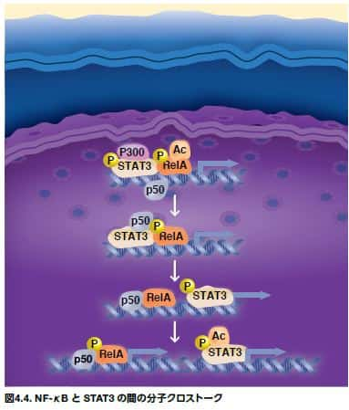 NF-κB と STAT3 の間の分子クロストーク
