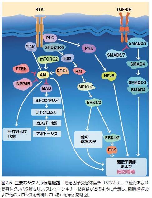 主要なシグナル伝達経路