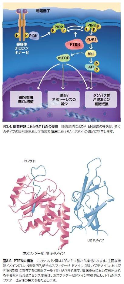 調節経路におけるPTENの役割