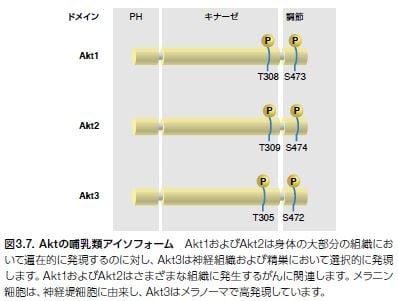 Aktの哺乳類アイソフォーム