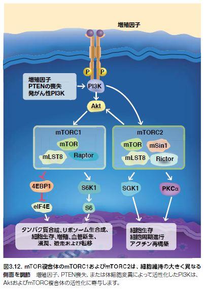 mTOR複合体のmTORC1およびmTORC2は、細胞維持の大きく異なる 側面を調節
