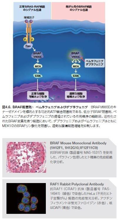 BRAF阻害剤: ベムラフェニブおよびダブラフェニブ