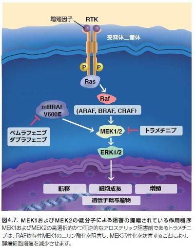 MEK1およびMEK2の低分子による阻害の提唱されている作用機序