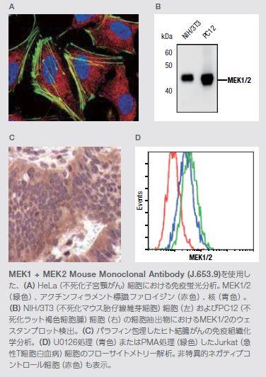 MEK1 + MEK2 Mouse Monoclonal Antibody
