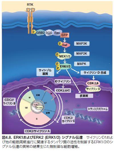 ERK1およびERK2 (ERK1/2) シグナル伝達