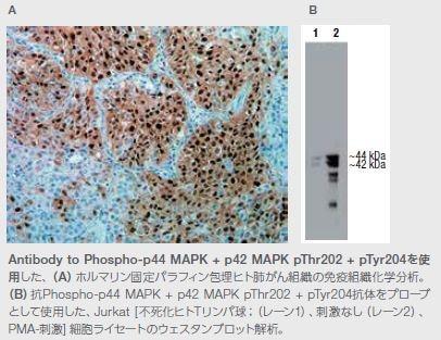 Antibody to Phospho-p44 MAPK + p42 MAPK pThr202 + pTyr204を使 用した例