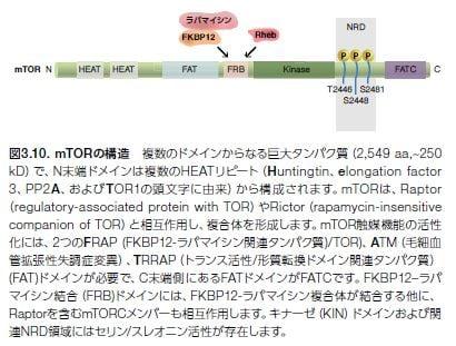 mTORの構造