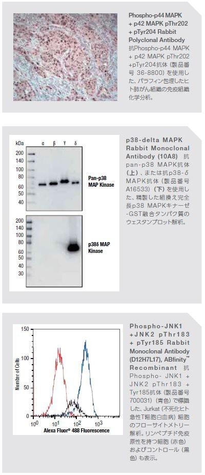 Phospho-p44 MAPK