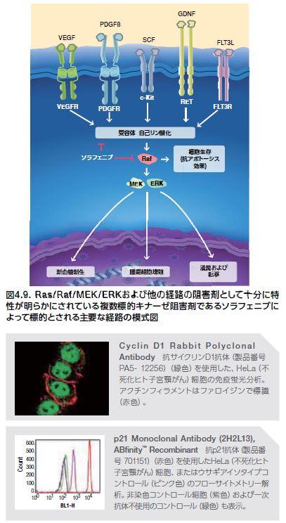 Ras/Raf/MEK/ERKおよび他の経路の阻害剤として十分に特 性が明らかにされている複数標的キナーゼ阻害剤であるソラフェニブに よって標的とされる主要な経路の模式図