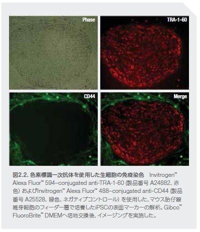 色素標識一次抗体を使用した生細胞の免疫染色