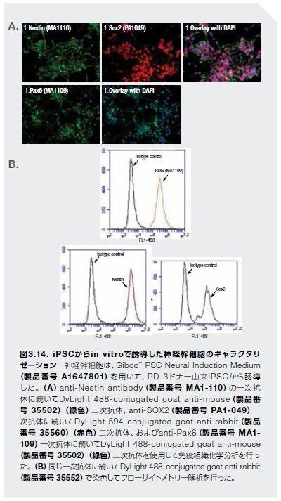 PSCからin vitroで誘導した神経幹細胞のキャラクタリ ゼーション