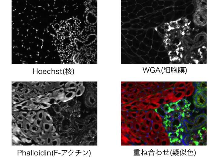 Immunofluorescence-of-pork-tongue-fig2