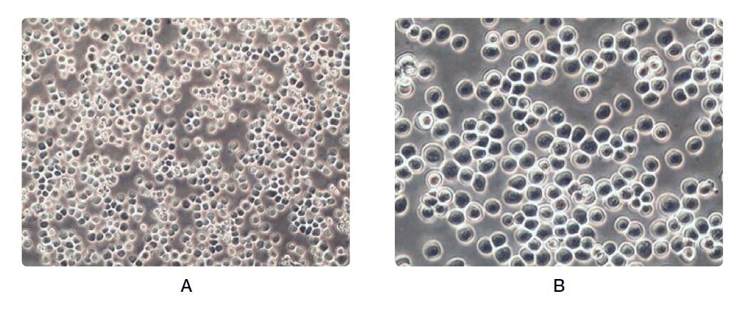 cell-morphology-basic-fig5