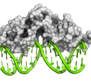 Glucocorticoid receptor with double-stranded DNA. Image: molekuul.be/Shutterstock.com