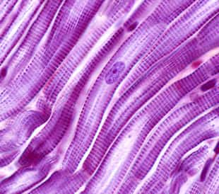 Striated muscle fibers of the heart myocardium. The cardiac myocytes have a central single nucleus and peripheral myofibrils. Light microscope micrograph. Image: Jose Luis Calvo/Shutterstock.com.