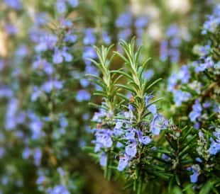 Blossoming rosemary plants in the herb garden, selected focus, narrow depth of field. Image: Maren Winter/Shutterstock.com.