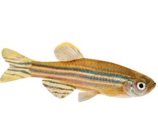 Zebrafish Zebra Barb Danio rerio freshwater aquarium fish isolated on white background