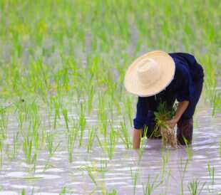 Farmer cultivating rice