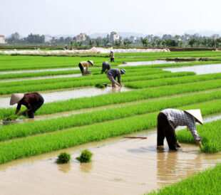 People working in a rice plantation in China