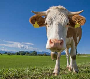 A cow stands in a green field against a blue sky, facing the camera.