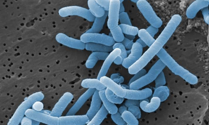 Microscopic image of Lactobacillus paracasei, a source of bacteriocins.