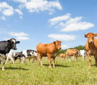 Group of Limousin and Holstein cows. Image: Gozzoli/Shutterstock.com